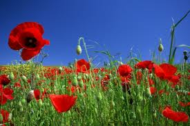 coquelicot-1.png