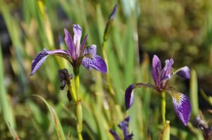 Iris versicolor kermesina 2