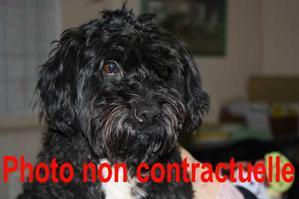 Petit-chien-noir-trouve-09-02-2013.png