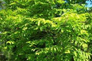 Metasequoia fe