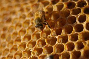 alveoles-abeille-2
