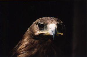 aigle criard (domaine des fauves)