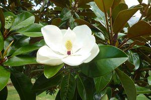 fleur d emagniolia