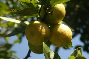 citrons2.jpg