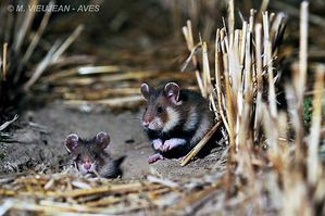 Grands hamsters sauvages en Alsace