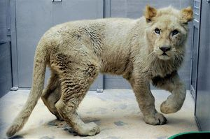 des-lions-blancs-au-zoo-d-amneville-photo-alexandre-marchi-jpg