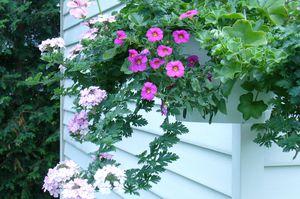 jardiniere-de-geranium-lierre--avec-petunia.JPG