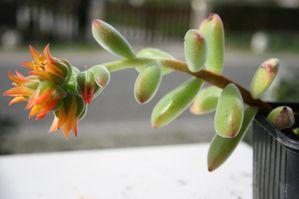 506112echeveria_pulvinata_hampe_florale.jpg