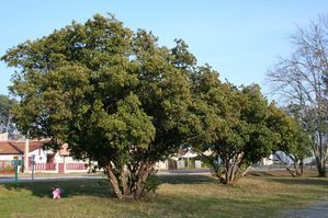 arbutus unedo 4139 redimensionner