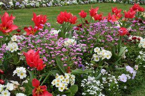 primevère des jardins, Massif de tulipes et myosotis 5737 redimensionner