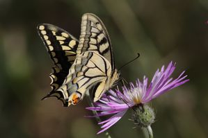 machaon4626