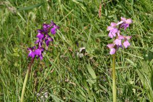 orchidées 7513