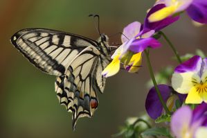 machaon7270