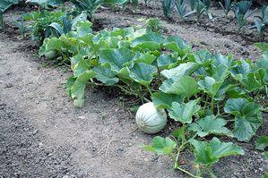 8---Melon.jpg