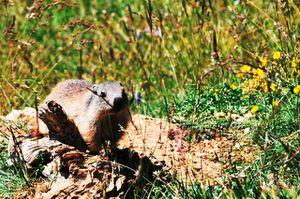 2011 07 03 Les Marmottes des hauts plateaux (2)