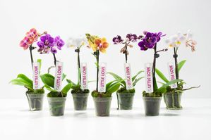 7 couleurs Little Love Cympha mini orchidées