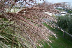 Miscanthus-sinensis-Variegatus.jpg