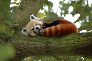 red_panda_04-copie-1.jpg