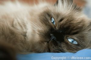 persian_cat_on_a_bed-copie-1.jpg