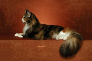 maine-coon-cat-gold.jpg