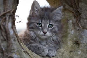 chaton-norvgiens-all-1392356275.jpg