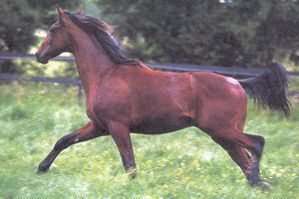 24792-animaux-chevaux-anglo_arabe.jpg