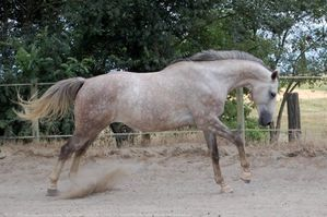 431541-animaux-chevaux-anglo_arabe.jpg
