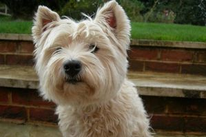 west-highland-white-terrier-picture-4.jpg