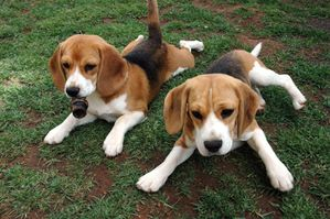beagle-pups-widescreen.jpg
