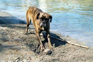 147408-animaux-chiens-boxer.jpg