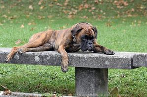 539139-animaux-chiens-boxer.jpg
