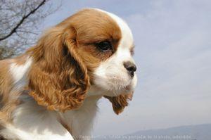 552768-animaux-chiens-cavalier_king_charles_spaniel.jpg