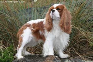 Cavalier-King-Charles-Spaniel-3-years-Blenheim-1197852178.jpg