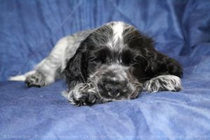 520036-animaux-chiens-cocker_anglais.jpg