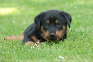 524468-animaux-chiens-berger_de_beauce.jpg