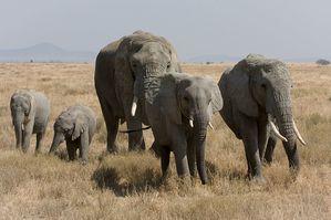 800px-Serengeti_Elefantenherde1.jpg