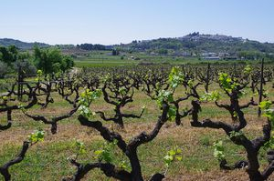 800px-Vineyard_Outside_Belmonte_-_Apr_2011.jpg