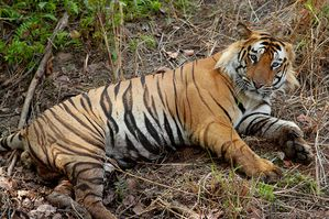 800px-Bengal Tiger India