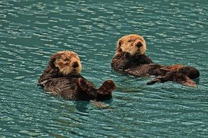800px-Sea_Otters.jpg