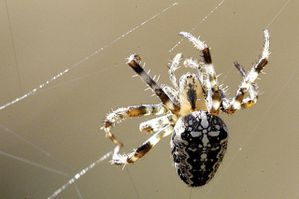 Araneus.diadematus.female.jpg