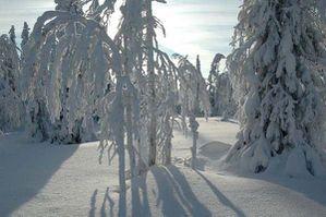 finlande arbres riisitunturi 12