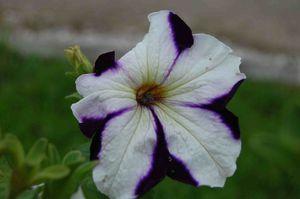 pétunia violet1