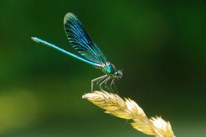 Libellule-Bleue.jpg
