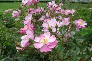 rosier-lavender-dream-ft.jpg