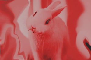 the red rabbit