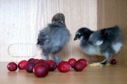 chicks-playing-with-fruit.jpg