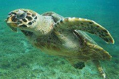 1-tortue_imbriquee-245x163.jpg