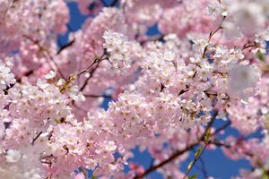 1-avril-japon-sakura.jpg