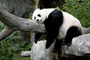 11.08.29.Panda-sieste.jpg