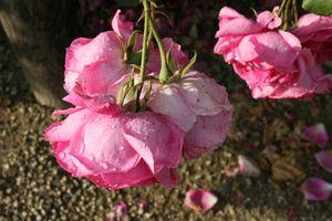 RosesPluie6.JPG